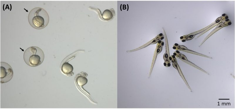 Zebrafish embryos used in nanotoxicity tests. (A) 24-hour embryos in the presence and absence of the chorion, where arrows indicate the chorion (membrane that protects embryos in the early stages of development). (B) Embryos after 96 hours of development.